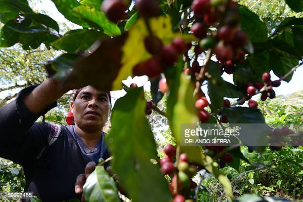A woman picks coffee beans during harvest in Finca Santa Elena in the department El Paraiso 110 kms east of Tegucigalpa on Januray 17 2013 Central...