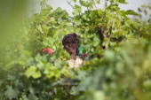 A woman picks grapes at the vineyard of the Castel winery outside the town of Ziway central Ethiopia on June 12 2014 Beyond the donkeys on a potholed...