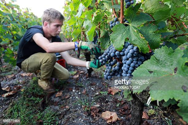 A woman picks grapes during the harvest a parcel of merlot a red grape variety at Chateau Fieuzal in the PessacLeognan wine producing area near...