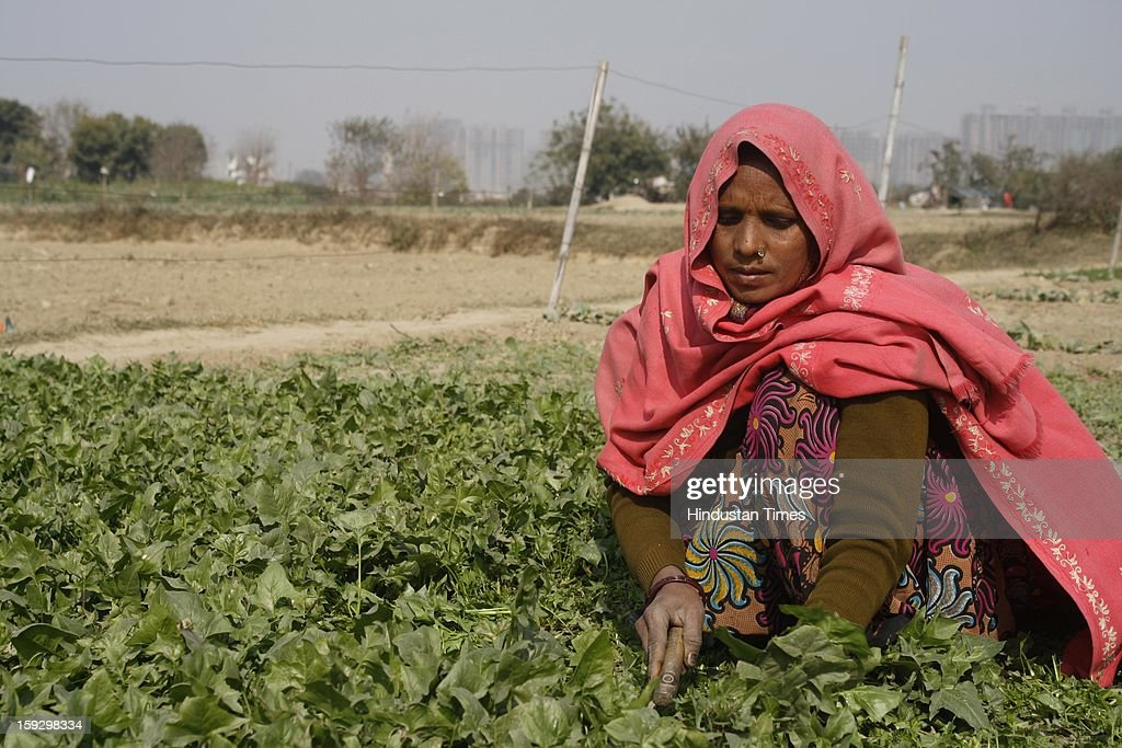 A woman picks vegetables from a field on January 10, 2013 in Noida, India. These farmers took the portion of land for contract from the owner & pay them Rupees 4000 (73.30 USD) for One Bhiga (14400 square feet) per year. They grow different vegetables in their contracted fields & make their living by selling them to the distributors.