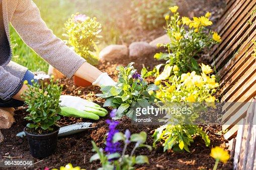 woman planting flowers in backyard garden flowerbed : Stock Photo