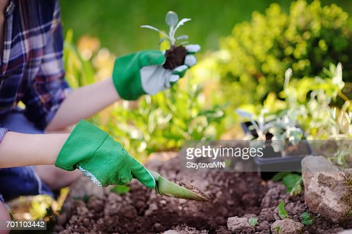 Woman planting seedlings in bed in the garden at summer sunny day : Stock Photo