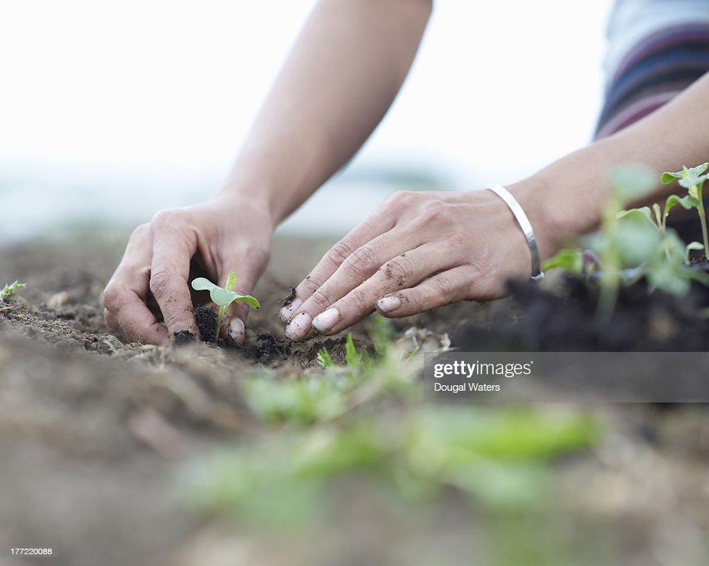 Woman planting seedlings. : Foto de stock