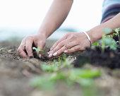 Woman planting seedlings.