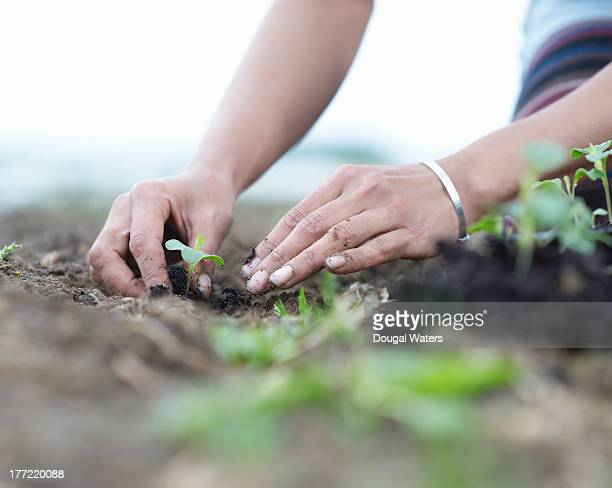 Woman planting seedlings.