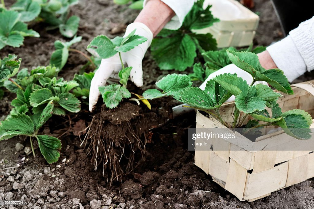 Woman planting strawberries plants : Stock Photo