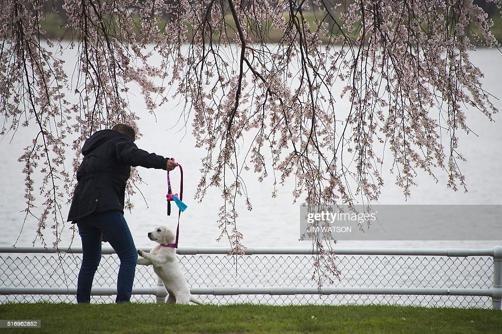 A woman plays with her dog under a blooming cherry blossom tree at the Tidal Basin in Washington, DC, March 22, 2016. / AFP / Jim Watson