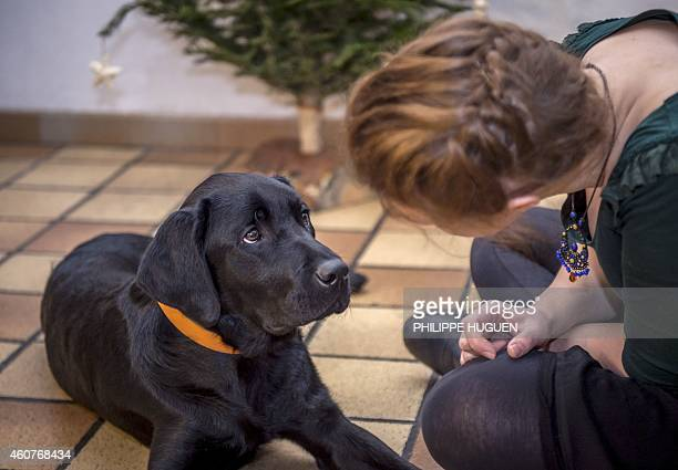A woman plays with 'Joke' a guide dog in Roncq northern France on December 17 2014 Puppies from a farm located in Lezoux French Auvergne region are...