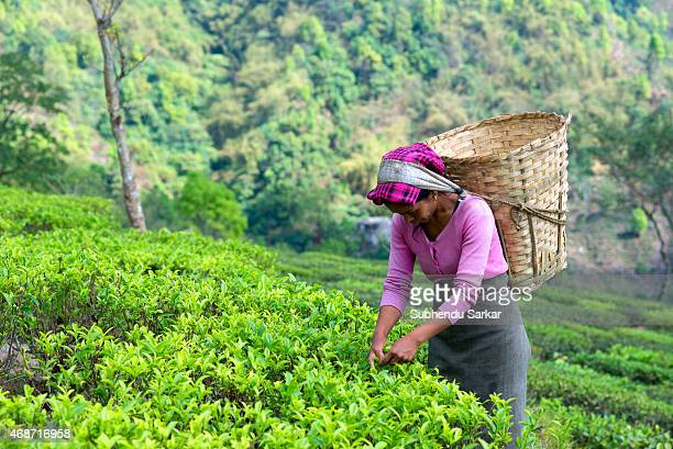 A woman plucks tea leaves at Makaibari tea garden Set up in 1859 off Kurseong in the Darjeeling hills the Makaibari estate is the worlds first tea...