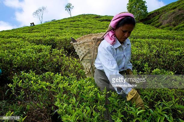 A woman plucks tea leaves at Makibari tea garden Set up in 1859 off Kurseong in the Darjeeling hills the Makaibari estate is the worlds first tea...
