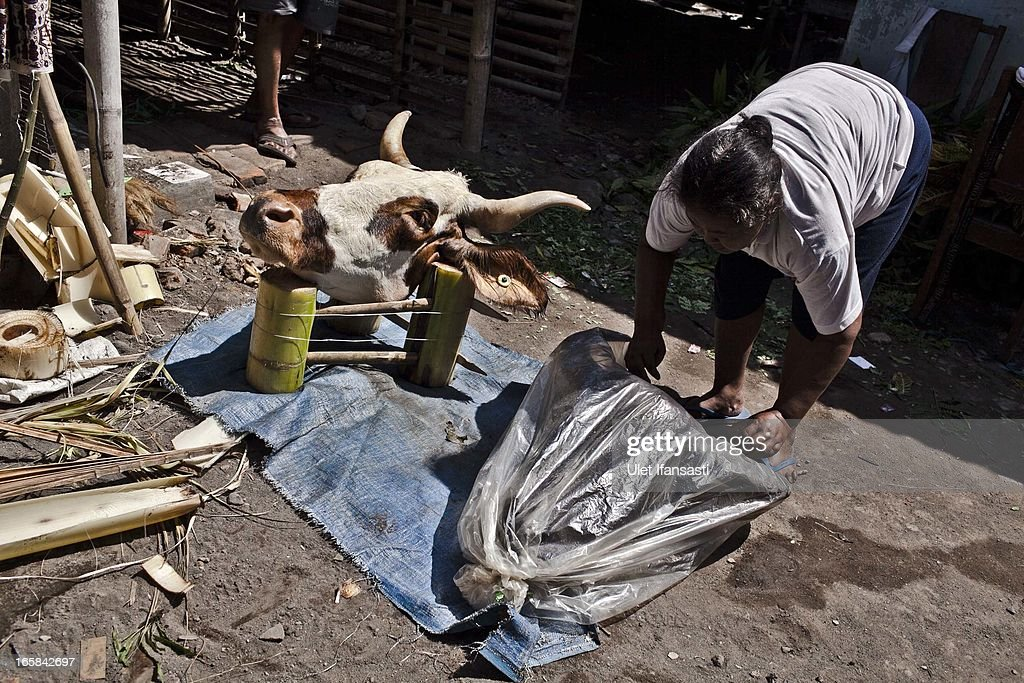 A woman prepare buffalo and cow heads as an offering before the Cembengan ritual 'Manten Tebu' at Madukismo sugar cane factory on April 6, 2013 in Yogyakarta, Indonesia. The Cembengan ritual, performed to bring about a good season's sugarcane crop, is held annually before the milling and processing season starts in Indonesian sugar mills.