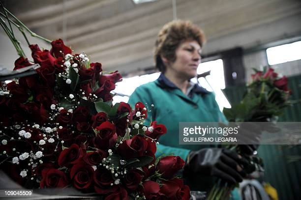 NEGRONA woman prepares a bouquet of red roses on February 11 at a flower farm in Cajica near Bogota Colombia For sweethearts everywhere it's the...