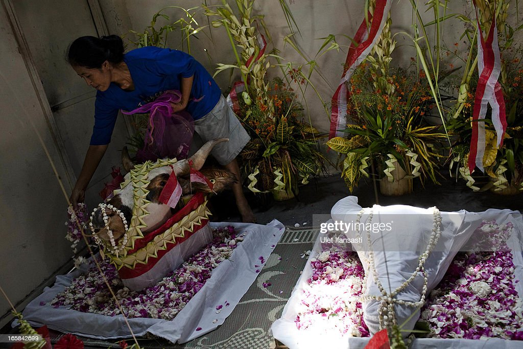 A woman prepares a buffalo head by covering it in cloth as an offering during the Cembengan ritual 'Manten Tebu' on April 6, 2013 in Yogyakarta, Indonesia. The Cembengan ritual, performed to bring about a good season's sugarcane crop, is held annually before the milling and processing season starts in Indonesian sugar mills.