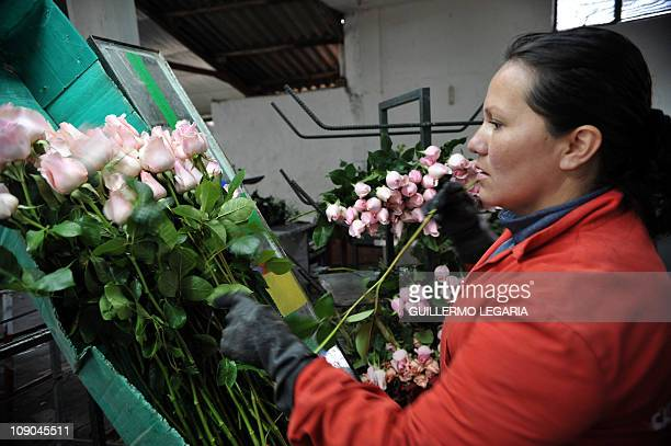 NEGRONA woman prepares bouquets of pink roses on February 11 at a flower farm in Cajica near Bogota Colombia For sweethearts everywhere it's the...