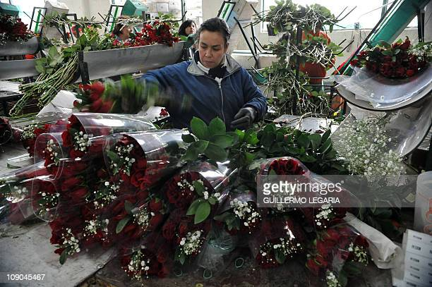 NEGRONA woman prepares bouquets of red roses on February 11 at a flower farm in Cajica near Bogota Colombia For sweethearts everywhere it's the...