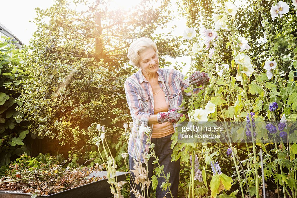 Woman pruning holly hocks flowers in garden. : Stock Photo