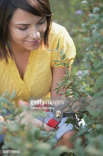 Woman pruning plant : Stock Photo