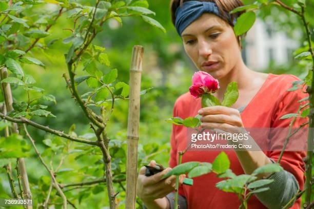 Woman pruning rosebush