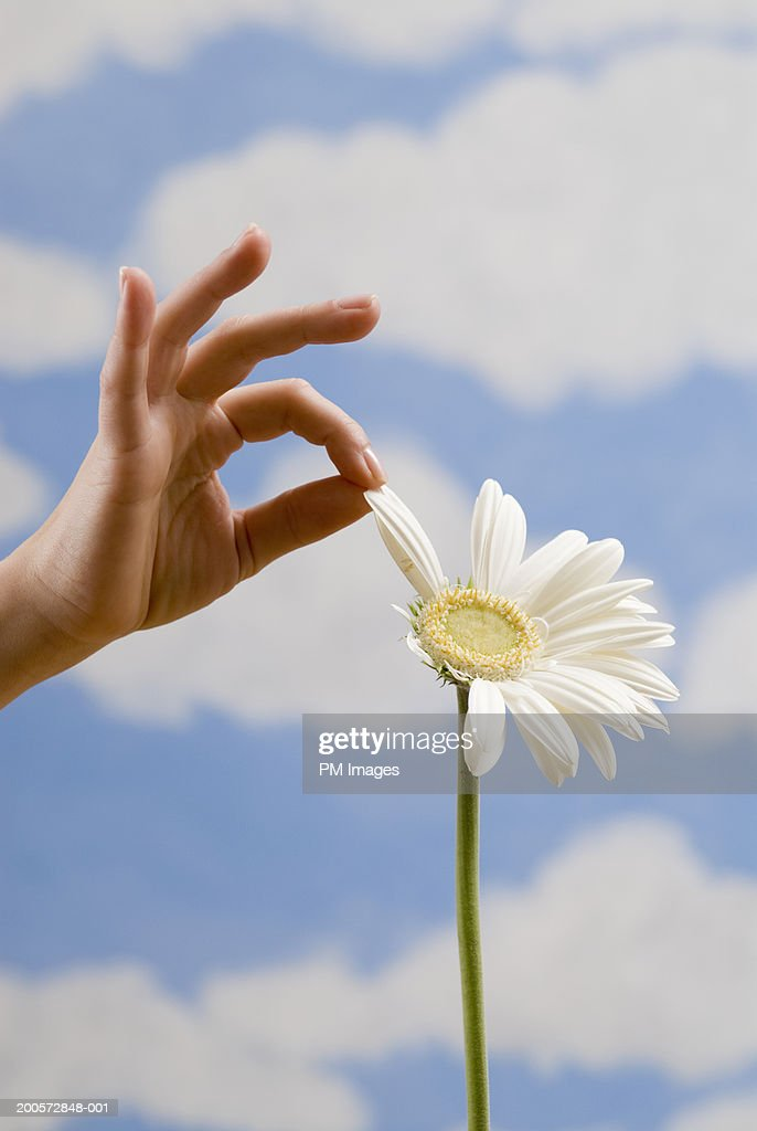 Woman pulling petal from daisy, close-up : Stock Photo