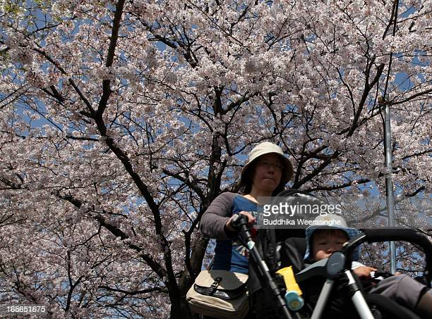 A woman pushes her baby cart under blooming cherry blossoms at Okazaki canal side on April 5 2013 in Kyoto Japan Cherry blossoms bloom from the end...