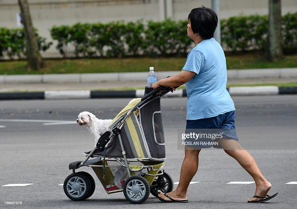 A woman pushes her dog pet in a baby tram across a junction in Singapore on January 16, 2013.