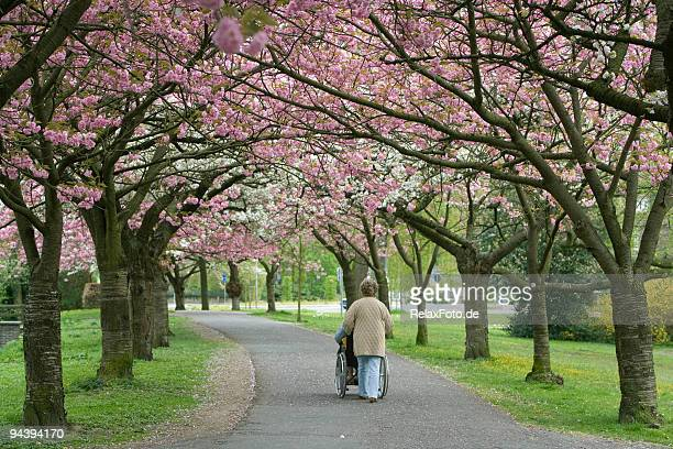 Woman pushing wheelchair user under blooming cherry trees (XXL)
