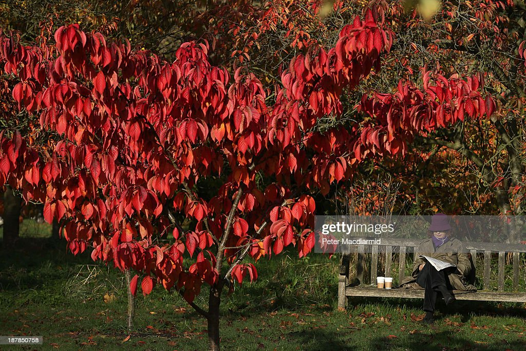 A woman reads a newspaper in the Royal Botanic Gardens, Kew on November 13, 2013 in London, England. Autumn's colours are showing later in the season this year due to a record cold spring.