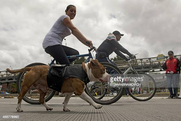 woman rides her bycicle with her dog along the 'Ciclovia' by some Bogota's streets temporarily closed for motor vehicles and enabled for cyclists...