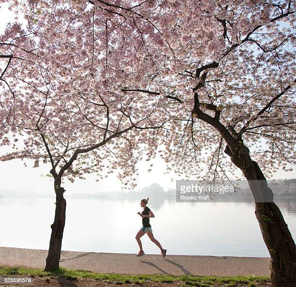 A woman runs past cherry blossom trees along the tidal basin in Washington The pink and white cherry blossoms draw a million visitors each spring to...