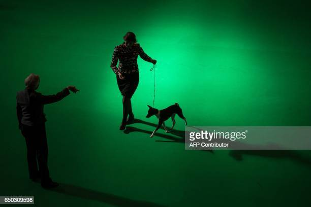 TOPSHOT A woman runs with a Basenji dog while a judge observes on the first day of the Crufts dog show at the National Exhibition Centre in...