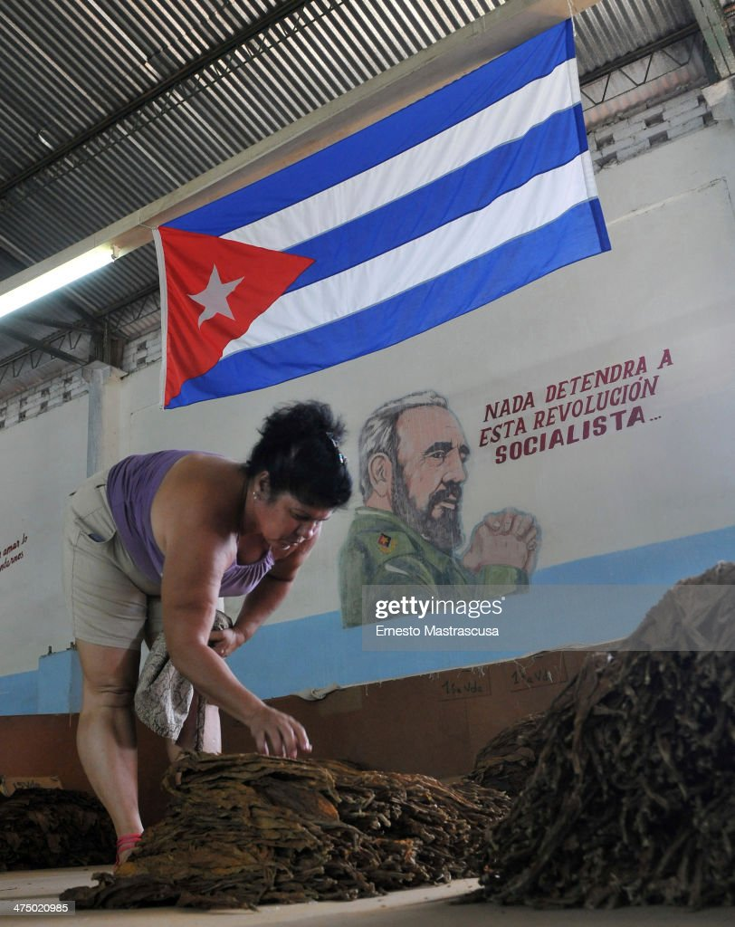 A woman selects already dried tobacco leaves as part of cigar production on February 26 at Havana, Cuba.