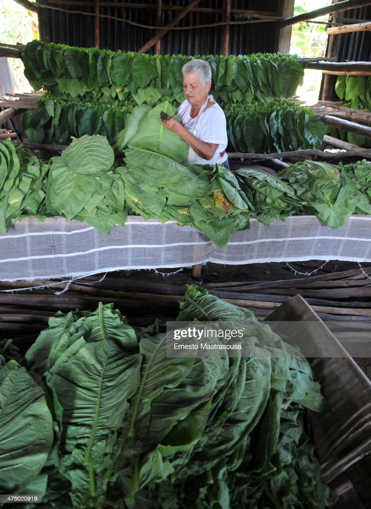 A woman selects tobacco leaves to be dried as part of cigar production on February 26 at Havana, Cuba.