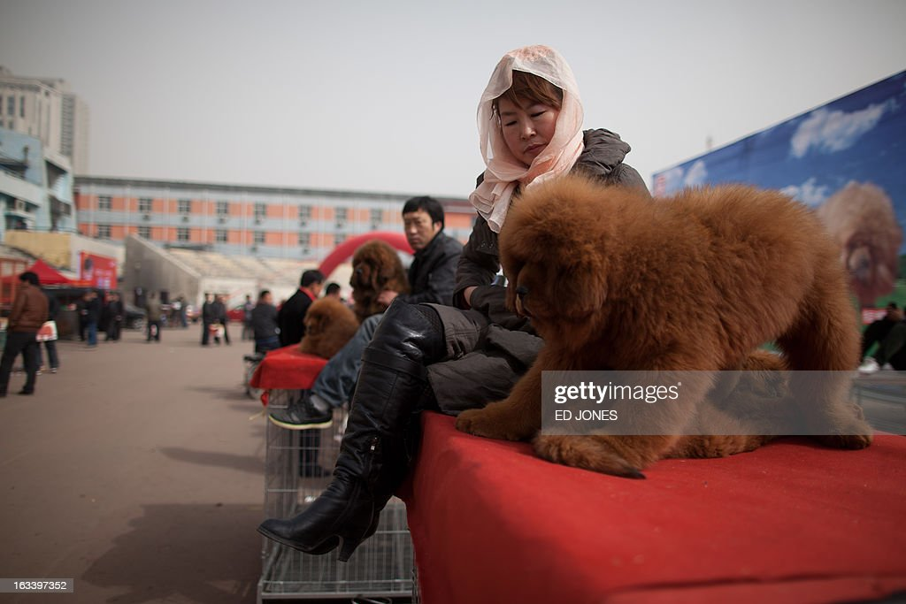 A woman sits with a Tibetan mastiff dog (R) displayed for sale at a mastiff show in Baoding, Hebei province, south of Beijing on March 9, 2013. Fetching prices up to around 750,000 USD, mastiffs have become a prized status-symbol amongst China's wealthy, with rich buyers across the country sending prices skyrocketing. Owners say the mastiffs, descendents of dogs used for hunting by nomadic tribes in central Asia and Tibet are fiercely loyal and protective. Breeders still travel to the Himalayan plateau to collect young puppies, although many are unable to adjust to the low altitudes and die during the journey. AFP PHOTO / Ed Jones