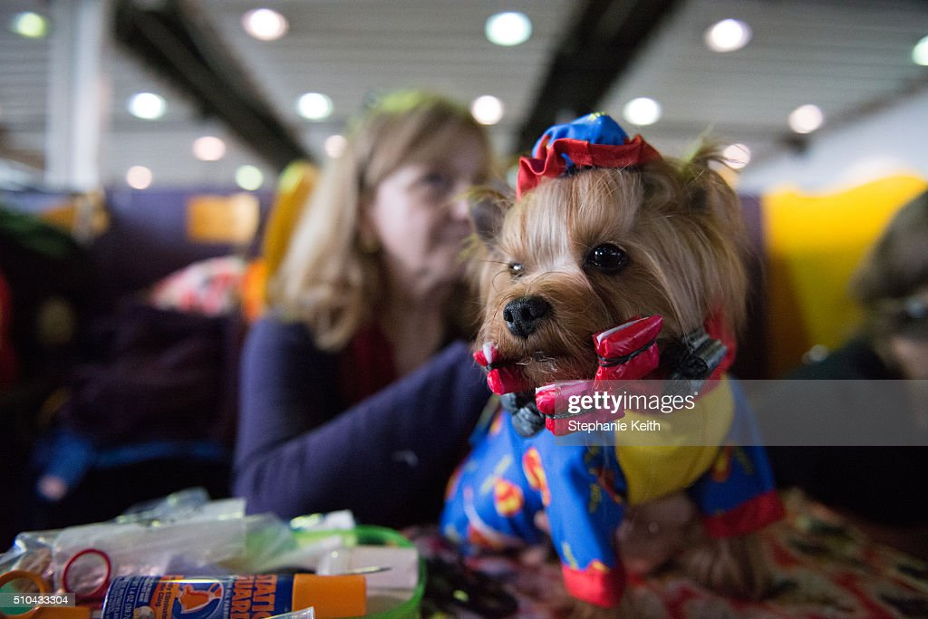 15 A woman sits with her Yorkshire Terrier during the annual Westminster Kennel Club dog show at Madison Square Garden on February 15 2016 in New...