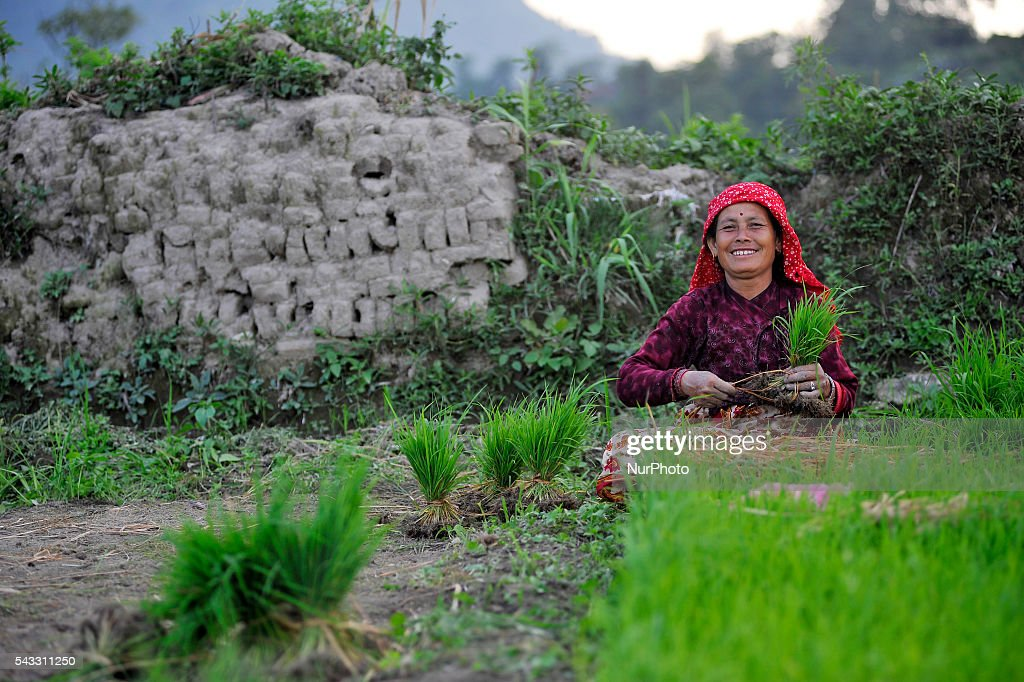 A Woman smiles as picking Rice Saplings for Plantation at Khokana, Patan, Nepal on June 27, 2016. Due to the less rainfall on monsoon season, Most of the people of Khokana Plants Rice by pumping water from nearer Bagmati River, which cost additional of NRs 500 (US$ 5) per hour for pump charge.