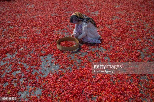 A woman spreads red chili peppers at a giant fabric on a sunny day in Sanliurfa Turkey on August 21 2017 After red chili peppers are separated from...