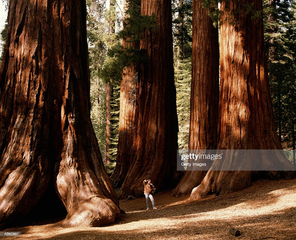 Woman standing amongst giant sequioas, looking up, California, USA