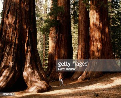 Woman standing amongst giant sequioas, looking up, California, USA
