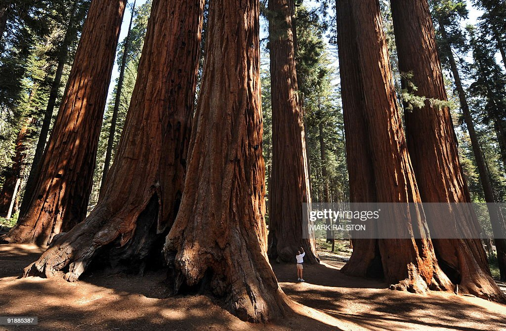 A woman stands amongst a grove of a Giant Sequoia trees in the Sequoia National Park in Central California on October 11 2009 The Redwood trees which...