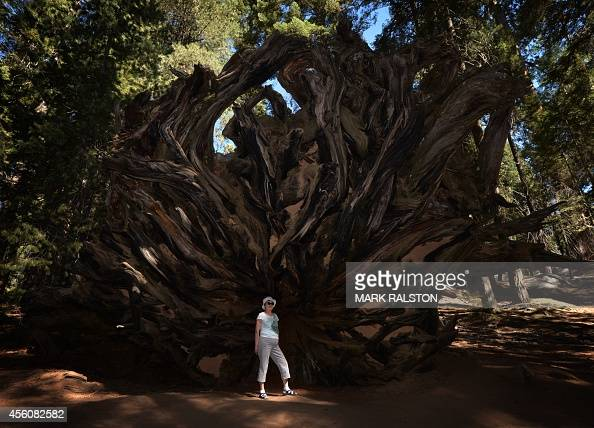 A woman stands beside the stump of a fallen giant Sequoia tree at the Sequoia National Park which scientists claim are under threat from a...