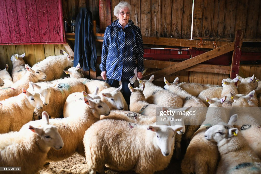 A woman stands withe the sheep as farmers gather at Lairg auction for the great sale of lambs on August 15, 2017 in Lairg, Scotland. Lairg market hosts the annual lamb sale, which is the biggest one day livestock market in Europe, when some twenty thousand sheep from all over the north of Scotland are bought and sold.