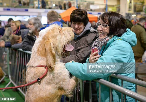 A woman strokes an Italian Spinone dog during the gundog parade at the West of England Game Fair at the Bath and West Showground in Somerset