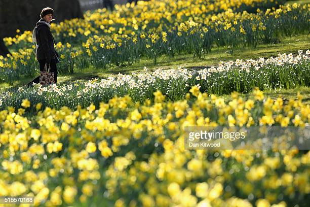 A woman strolls past daffodils in St James's Park on March 14 2016 in London England Great Britain is to enjoy several days of mild seasonal weather...