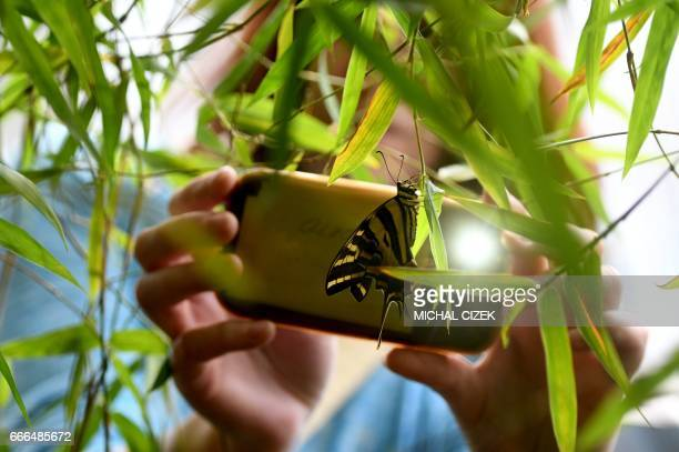 A woman takes a photo of a butterfly at an exhibition of tropical butterflies at the botanical garden April 9 2017 in Prague / AFP PHOTO / Michal...
