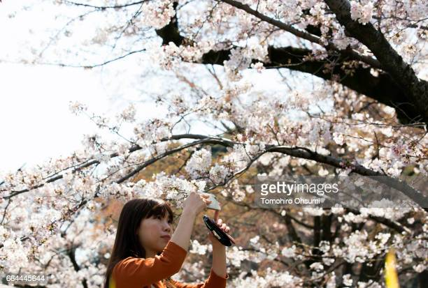 A woman takes a photograph of a cherry tree in bloom on April 4 2017 in Tokyo Japan Japan's cherry blossom season is reaching its climax this week...