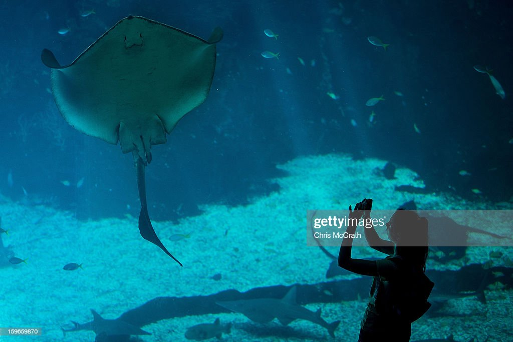 A woman takes a photograph of a Manta Ray at Resort World Sentosa's Marine Life Park, January 18, 2013 in Singapore. The Marina Life Park is Resort World Sentosa's newest attraction and is the world's largest aquarium, with 100,000 marine animals of over 800 species housed in 45 million litres of water.