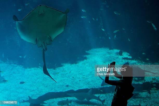 A woman takes a photograph of a Manta Ray at Resort World Sentosa's Marine Life Park January 18 2013 in Singapore The Marina Life Park is Resort...