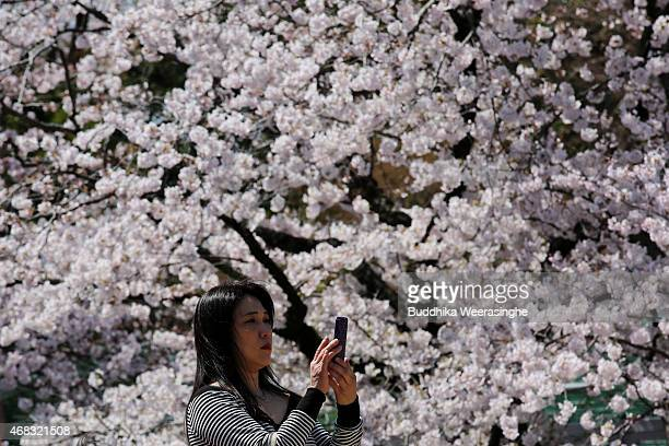 A woman takes a photograph of blooming cherry blossom trees at Himeji Castle on April 2 2015 in Himeji Japan There are about a thousand cherry trees...
