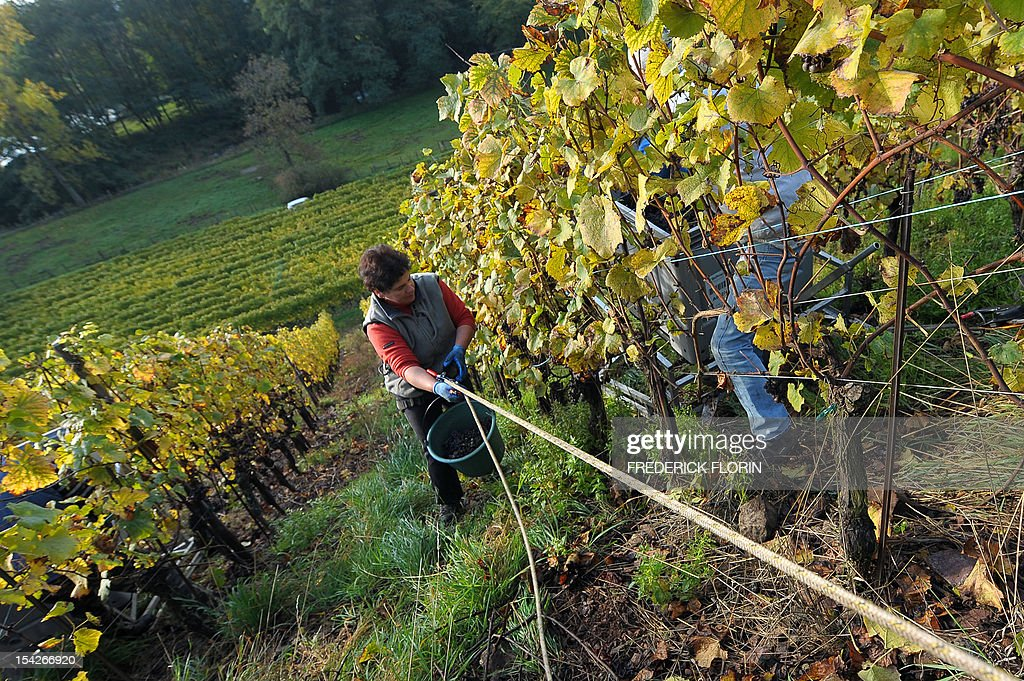 A woman takes part in the grape harvest of the Grand Cru Rangen, on October 17, 2012 in Thann, eastern France. The rows of the vineyard overhangs the city with a gradient of 45 to 100. AFP PHOTO/FREDERICK FLORIN