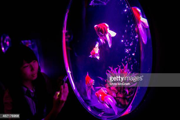 A woman takes photographs of Kingyo on display at the 'Eco Edo Nihonbashi Art Aquarium 2014' exhibition at the Nihonbashi Mitsui Hall on July 15 2014...